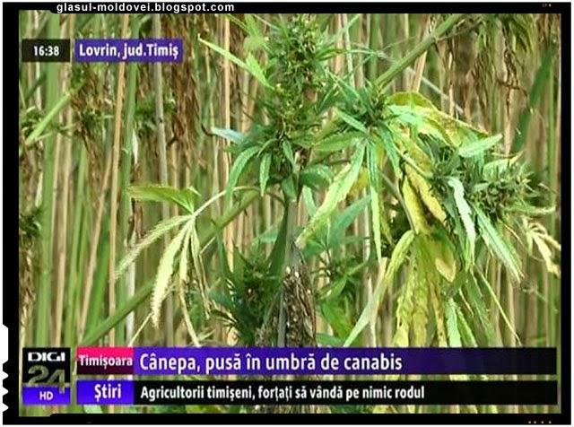 Se cultiva din nou canepa in Romania!, Foto: captura Digi 24
