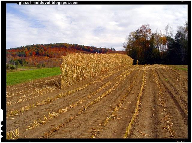 Ungaria a dat foc la 500 de hectare de porumb modificat genetic