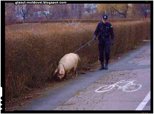 Jandarmeria Romana a fost dotata cu porci detectori de ... porci corupti!