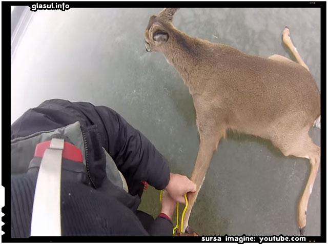 Când au auzit ca sunt niste caprioare captive pe gheață, tipii ăștia s-au grabit sa ajute!