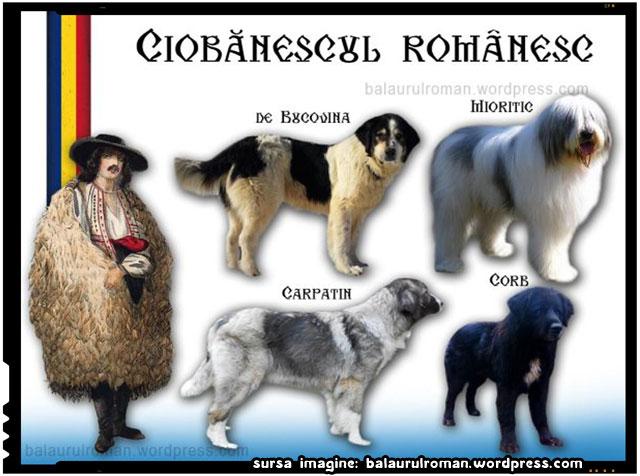 Ciobănescul românesc, sursa imagine: balaurulroman.wordpress.com