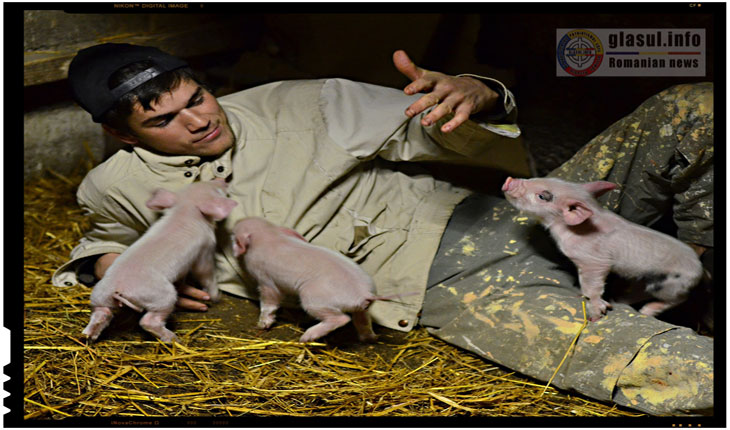 In viitor oamenii vor putea fi numiti porci fara sa se mai supere? Omul-porc va avea organe transplantate de la porci!