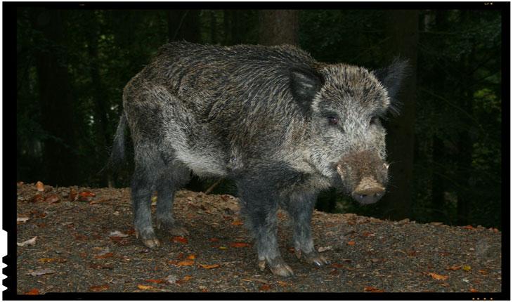 Stimulente financiare pentru vânătorii care ucid porci mistreți din zone în care există focare de pestă porcină africană