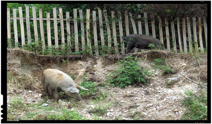 Țăranii se revoltă!Sătenii dintr-o comună au alungat autoritățile care veniseră pentru a le eutanasia porcii