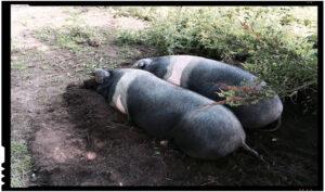 Apel al fermierilor români: luptați împotriva pestei porcine africane prin refuzul de a cumpăra carne de porc din altă sursă decât sursa românească!