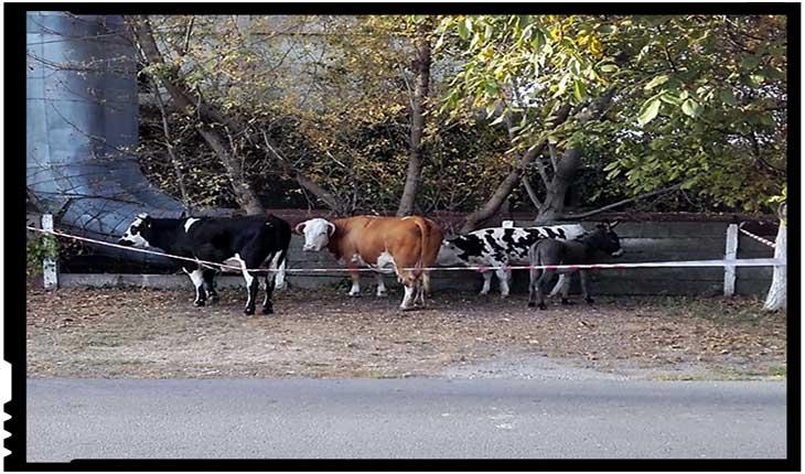 Până și vacile vor să evadeze din orașul lui Falcă!, Foto: facebook.com/cristi.cotuna